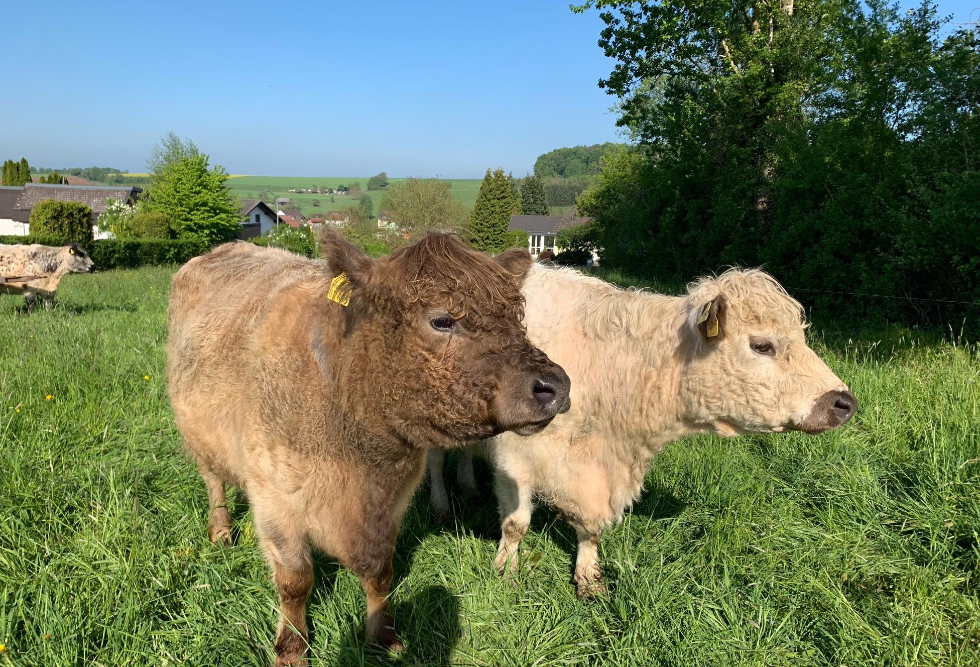 Typische Kühe